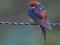 Gold_Subject Projected_Greater Striped Swallow in Rain_Barbara Barnett