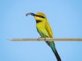 Bronze_Open Projected_Rainbow Bee-Eater_Louise Stockden