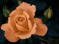Subject - Bronze - Orange Rose - Mike Hewitt