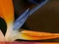 Subject_Bronze_Mike-Hewitt_Strelitzia-Bird-of-Paradise-stamen
