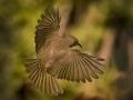 Open_Bronze_Steven Chia_Silver-Eye-in-flight